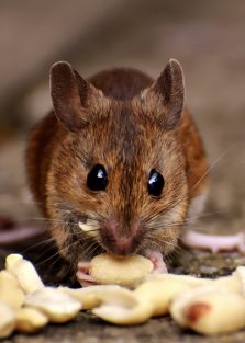 brown-rat-eating-food-2189599.jpg